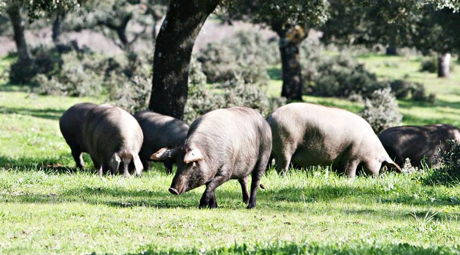 En la Dehesa durante la montanera el cerdo ibérico campea a sus anchas