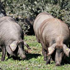 Montanera Cerdo Ibérico