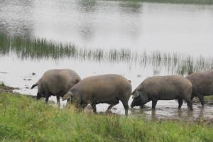 Cerdo Ibérico en Montanera, Dehesa de Extremadura