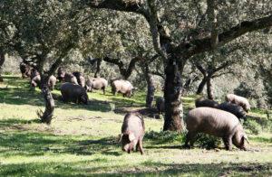 Cerdo Ibérico en la Dehesa de Los Pedroches durante la Montanera