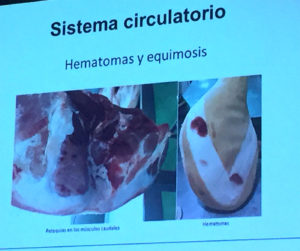 Equimosis y hemorragias. Anomalías del jamón, implicaciones del sistema linfático, vascular y óseo, por Juan Vicente Olmos en el Congreso Mundial del Jamón