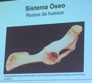 Sistema Óseo. Anomalías del jamón, implicaciones del sistema linfático, vascular y óseo, por Juan Vicente Olmos en el Congreso Mundial del Jamón