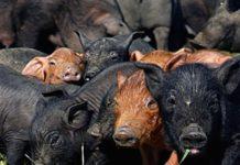 Cría del cerdo ibérico
