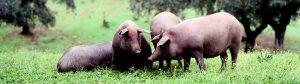 Microclima y hábitat cerdo ibérico