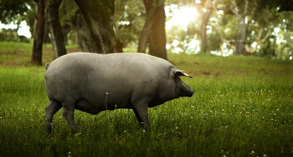 cerdo ibérico, los vocablos de la norma del ibérico