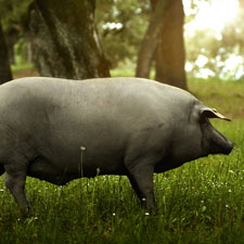 Los vocablos de la nueva norma de calidad del jamón ibérico