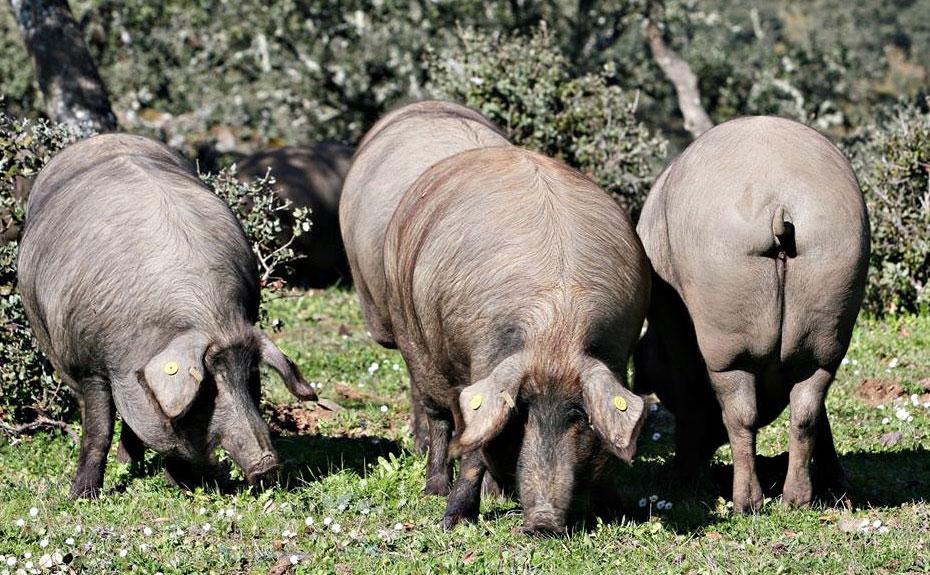 Montanera, cerdo ibérico