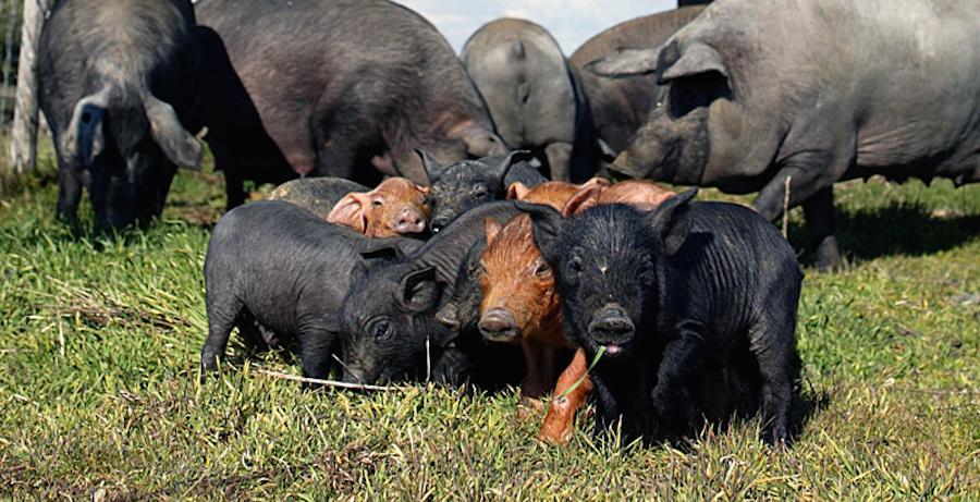 El cerdo ibérico bajo la nueva normativa