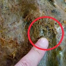 Necrobia Rufipes, un tipo de insecto que puede aparecer en el Jamón