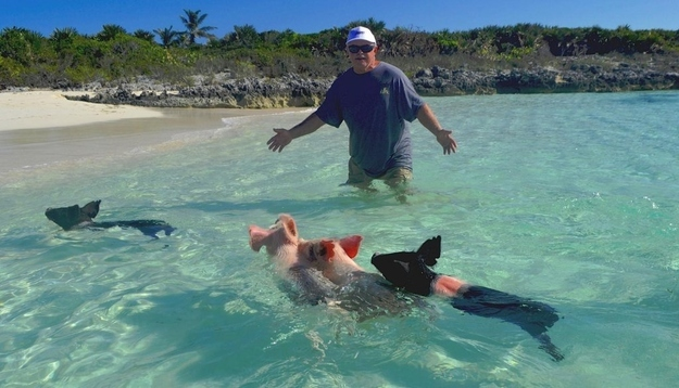 Cerdos que nadan en las Bahamas