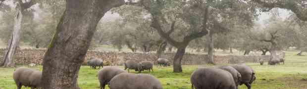 Jamón ibérico de bellota, no solo de bellotas se alimenta el cerdo ibérico