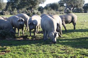 Cerdo 100% Ibérico estirpe Lampiño Campo Agañán
