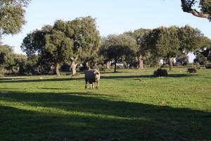 Variedad Lampiño cerdo Ibérico Campo Argañán