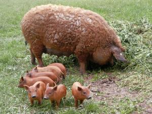 Cerdo Mangalica Colorado
