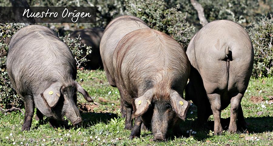 cerdos ibéricos DOP Los Pedroches