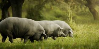 Cerdos de raza alentejana de Portugal