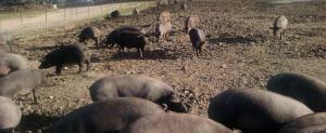 Cerdo Ibérico Cebo de Campo