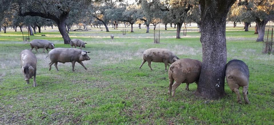 Cerdo Ibérico, El Risco Extremeño