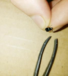 Necrobia rufipes, escarabajo jamón. Bichos en el jamón.
