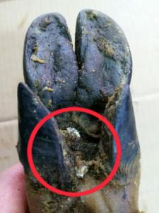 Necrobia rufipes, larvas pezuña jamón. Escarabajo jamón.