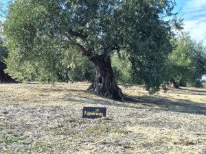 Egoleum olivos
