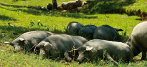 Cerdos Ibéricos en las Dehesas