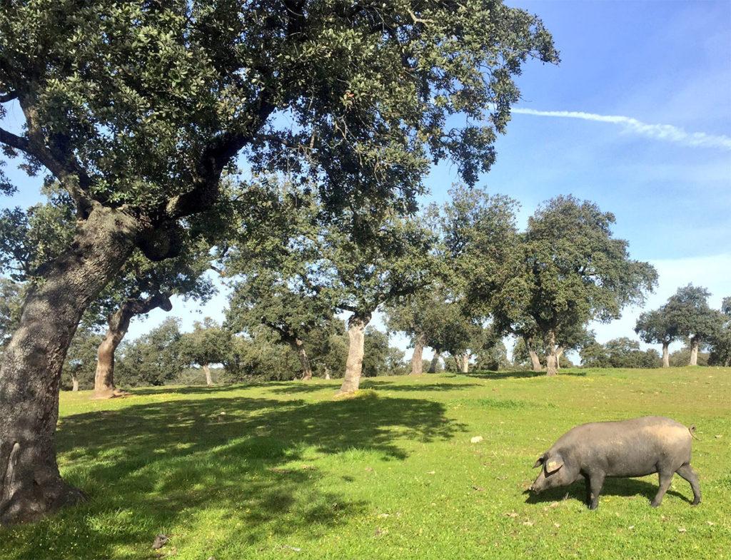 Cargas Ganaderas: Hectáreas cerdo ibérico Norma de Calidad del Ibérico